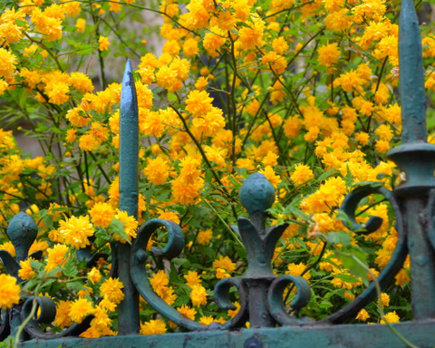 Flowers booming along wrought-iron fence in St .Germain de Pres, Paris by Natalie Parker