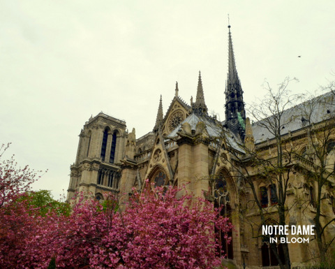 Blooming trees outside Notre Dame, Paris by Natalie Parker