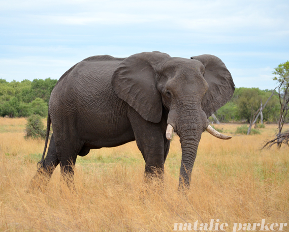 African Elephant by Natalie Parker