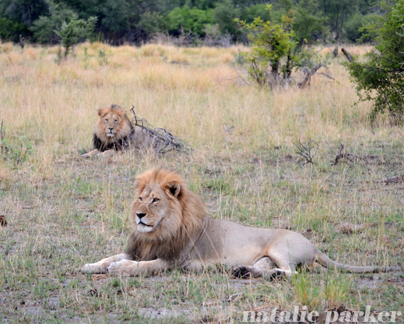 African Lions by Natalie Parker 2