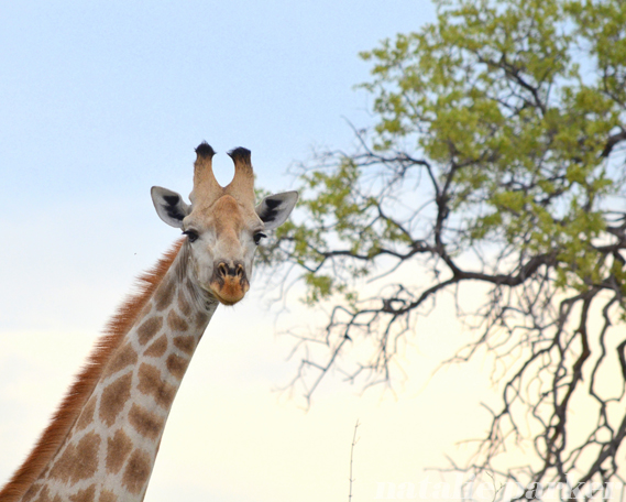 Botswana Giraffe by Natalie Parker