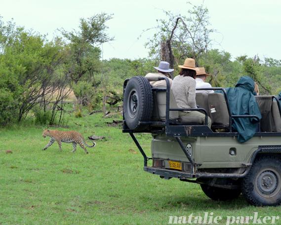 Botswana Safari Leopard by Natalie Parker