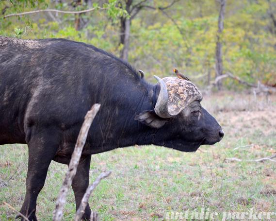 Cape Buffalo by Natalie Parker