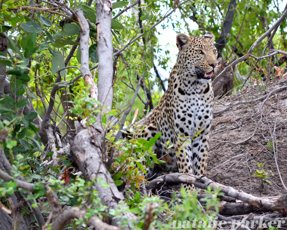 Leopard by Natalie Parker